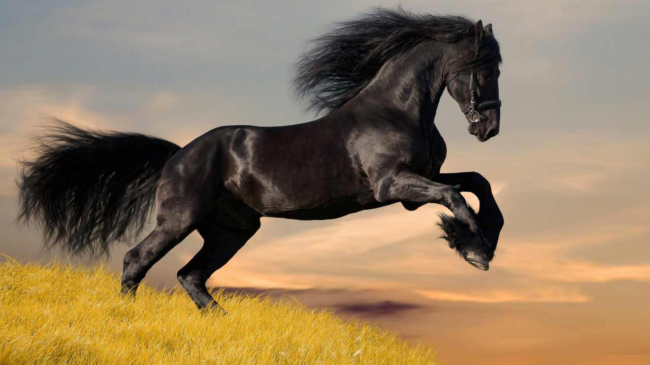 black_horse_5-wallpaper-1280x720
